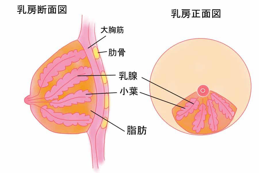 原因1:乳腺の萎縮
