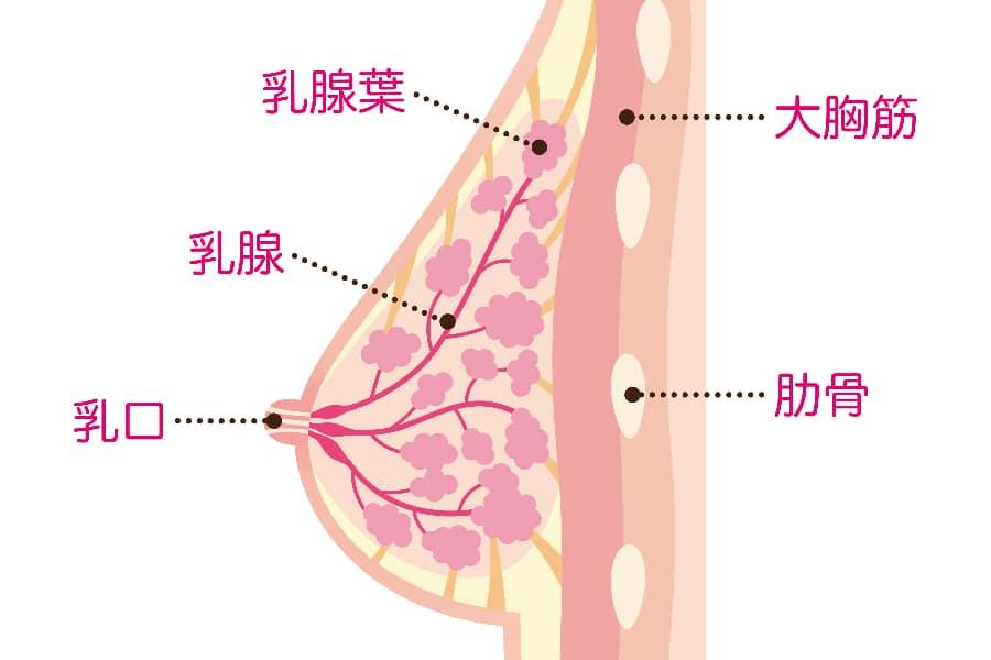 ホルモン基礎知識1 プロラクチンの働き